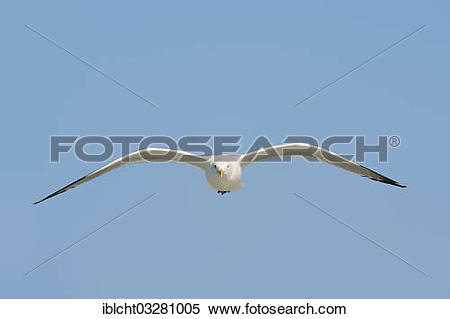 "Stock Image of ""American Herring Gull or Smithsonian Gull (Larus."