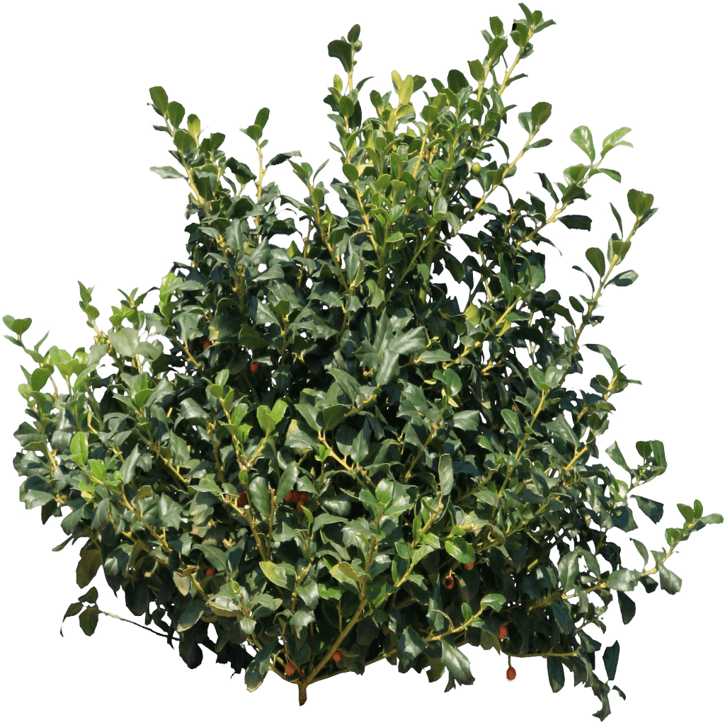 Holly Bush transparent PNG.