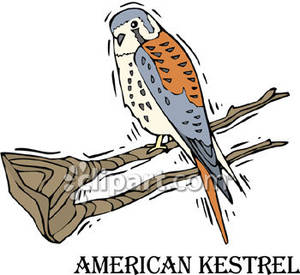 American Kestrel In a Tree.
