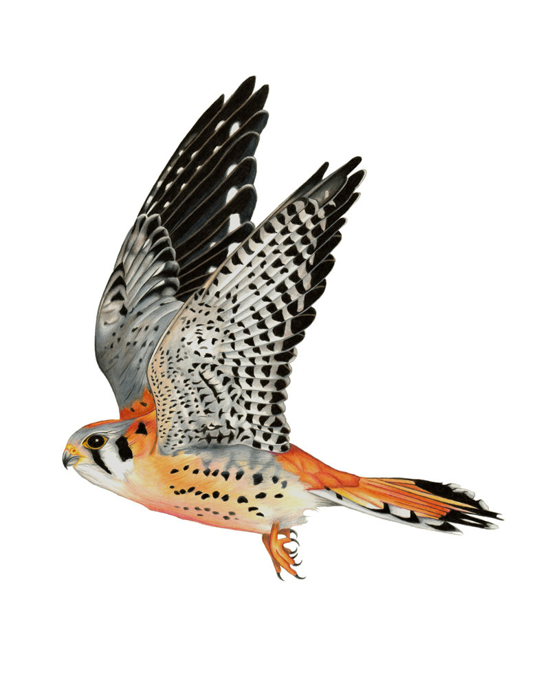 Kestrels Clipart Clipground