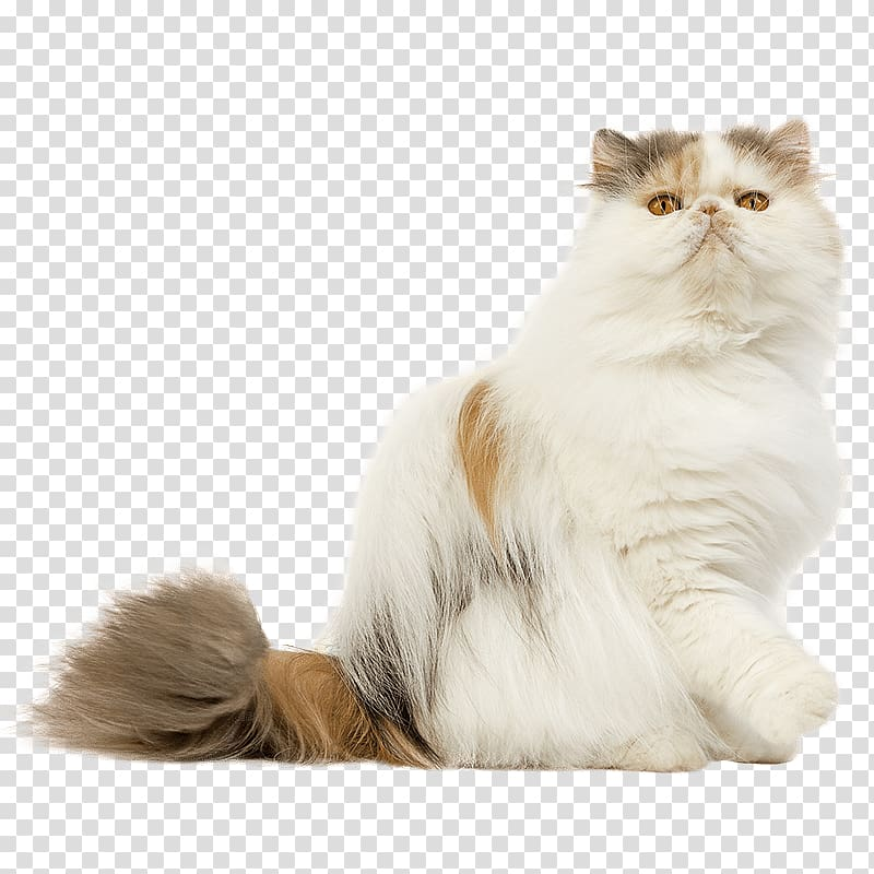 Persian cat Maine Coon Pixie.