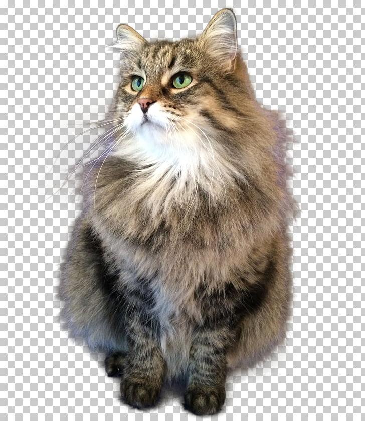 Siberian cat Asian Semi.