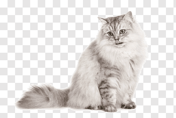 Domestic Long Haired Cat cutout PNG & clipart images.