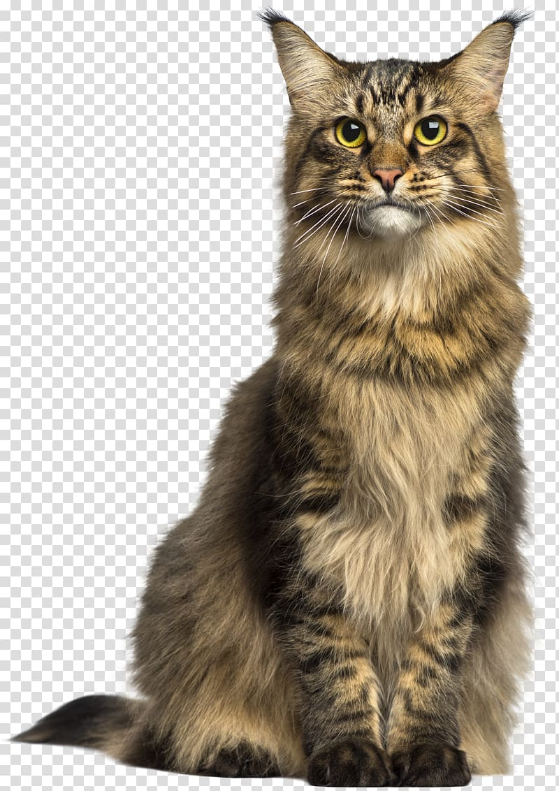 Maine Coon Asian Semi.