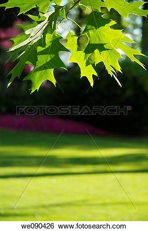 Stock Images of American Oak leaves in summer we090426.