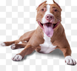 American Pit Bull Terrier PNG and American Pit Bull Terrier.