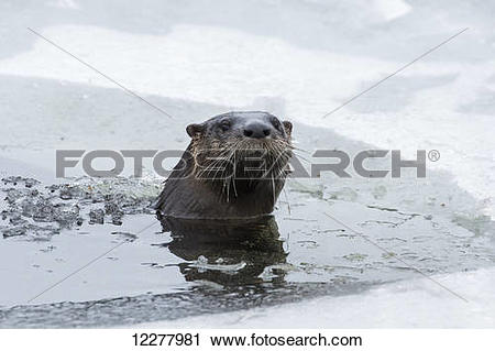 Stock Photography of North american river otter (Lontra canadensis.
