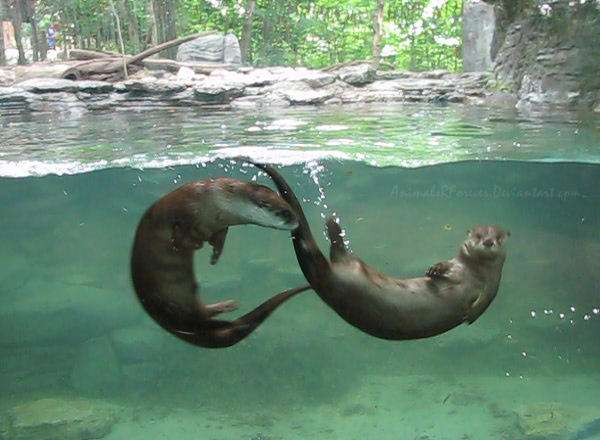 Animated Pictures River Otters.