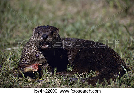 Stock Photography of North American river otter eating fish in a.