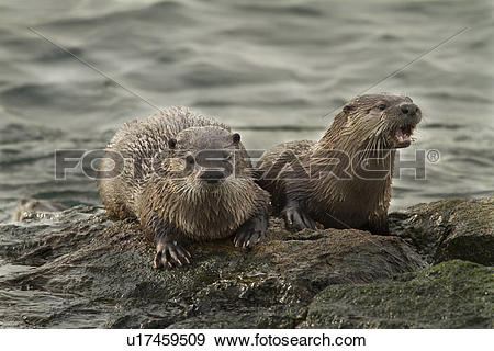 Stock Photograph of North American river otter, Lontra canadensis.