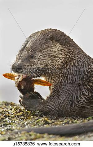 Stock Images of North American river otter, Lontra canadensis.