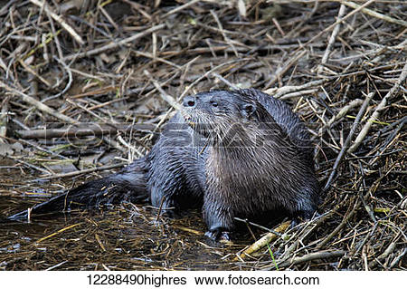 Stock Images of A North American River Otter (Lontra canadensis.
