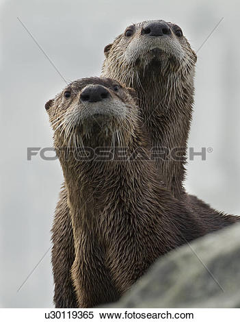 Stock Image of North American river otter, Lontra canadensis.