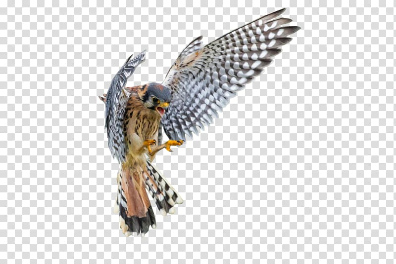 Vertebrate American kestrel Bird Falcon, white american.