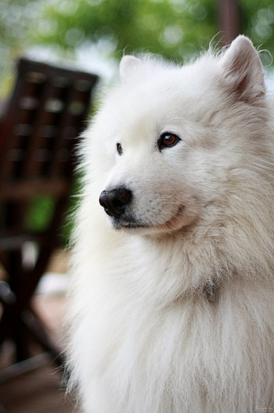 1000+ images about American Eskimo Dog on Pinterest.