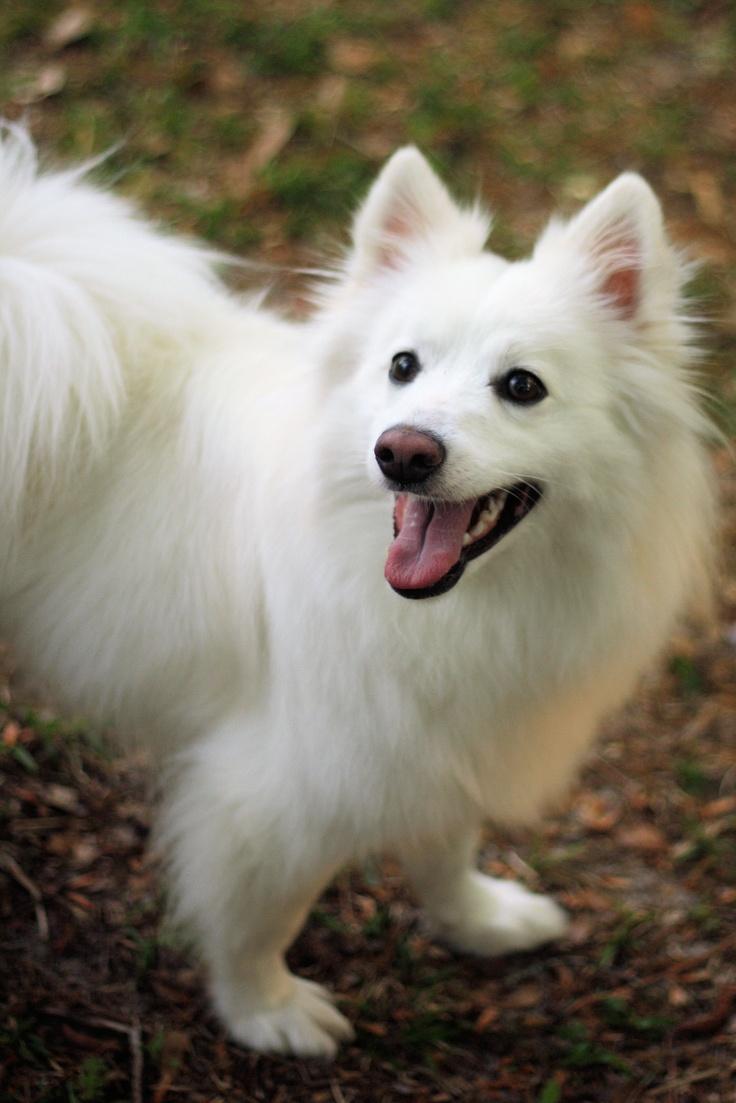 1000+ images about American Eskimo Dog and Samoyed.