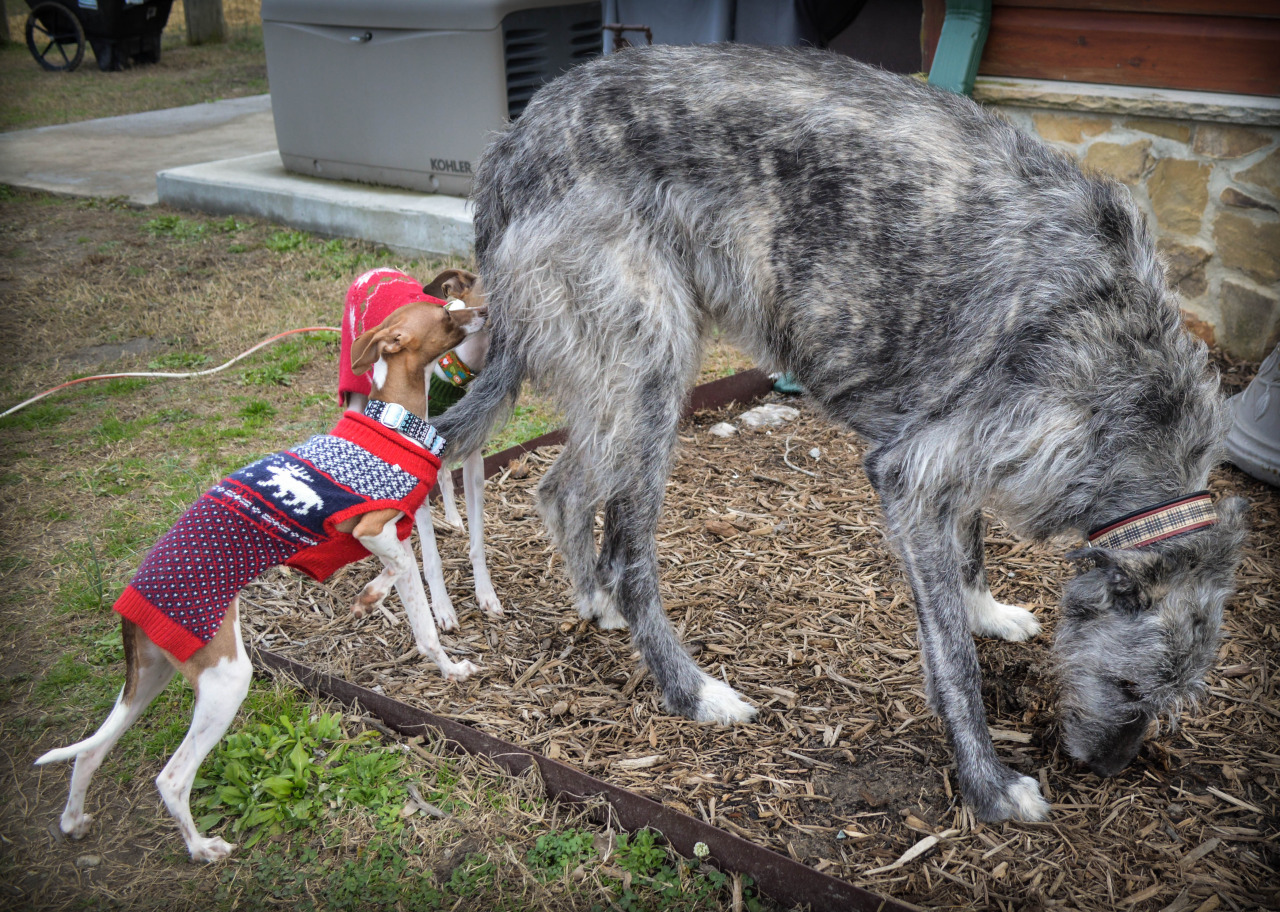 The smallest sighthound breed (Italian Greyhound) compared to the.