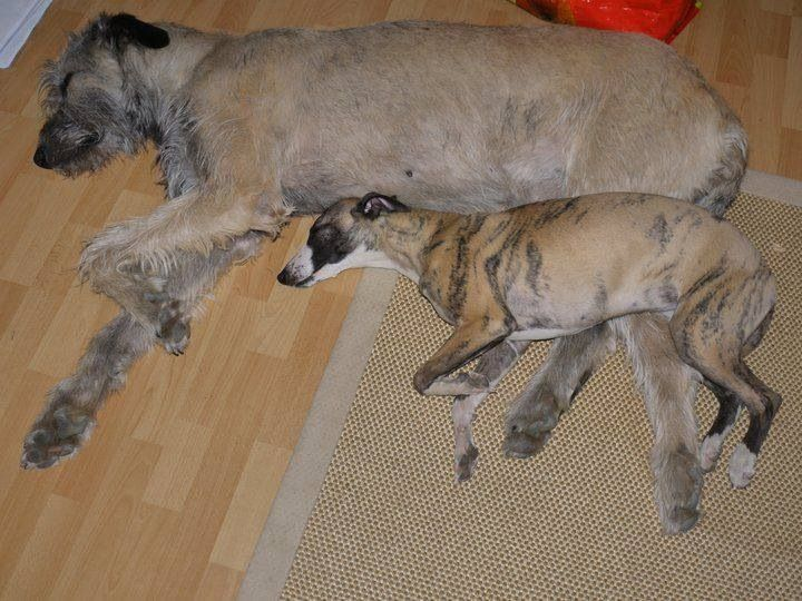 1073 Best images about Love sighthounds on Pinterest.