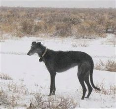 American staghound photo.