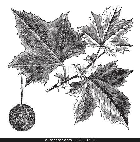 American Sycamore or Platanus occidentalis, vintage engraving.