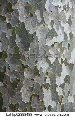 """Pictures of """"American sycamore tree (Platanus sp.), detailed view."""