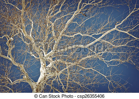 Stock Photography of American Sycamore.