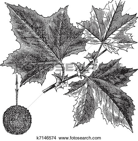 Clipart of American Sycamore or Platanus occidentalis, vintage.