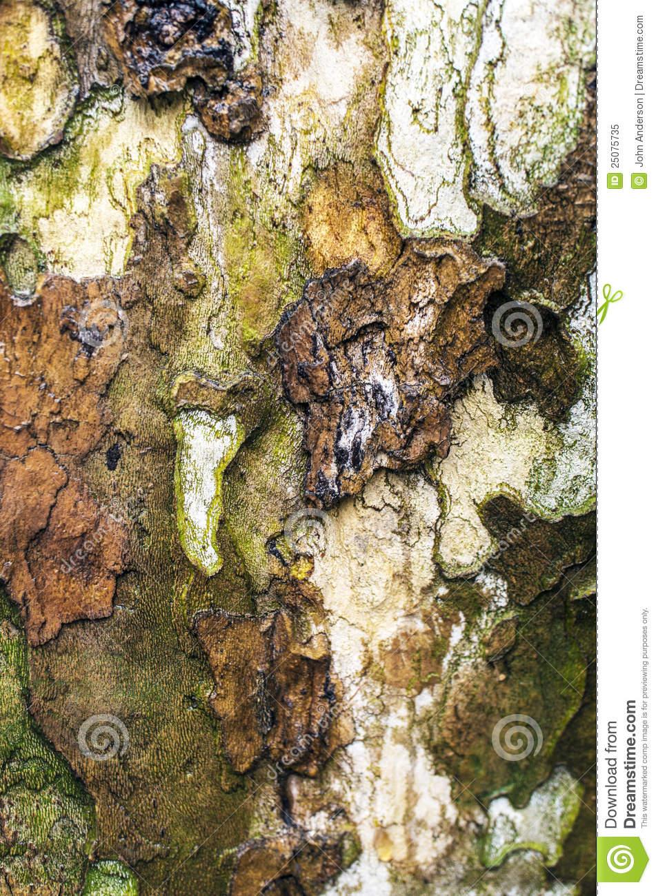 American Sycamore Tree Bark Royalty Free Stock Photo.