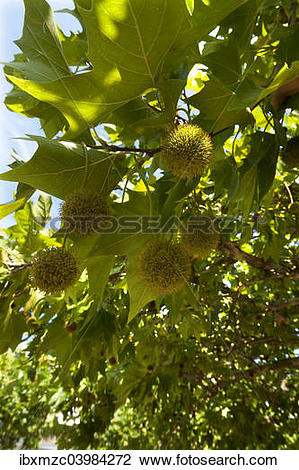 "Stock Photo of ""American Sycamore or American Plane Tree (Platanus."
