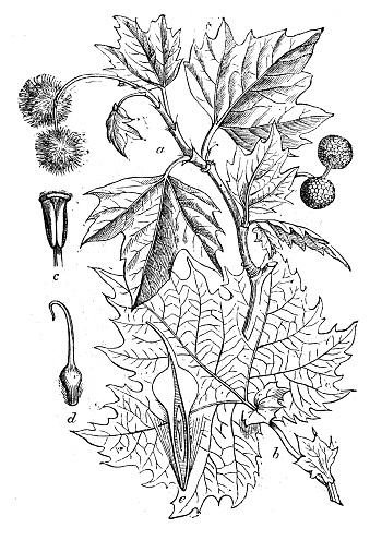 American Sycamore Clip Art, Vector Images & Illustrations.