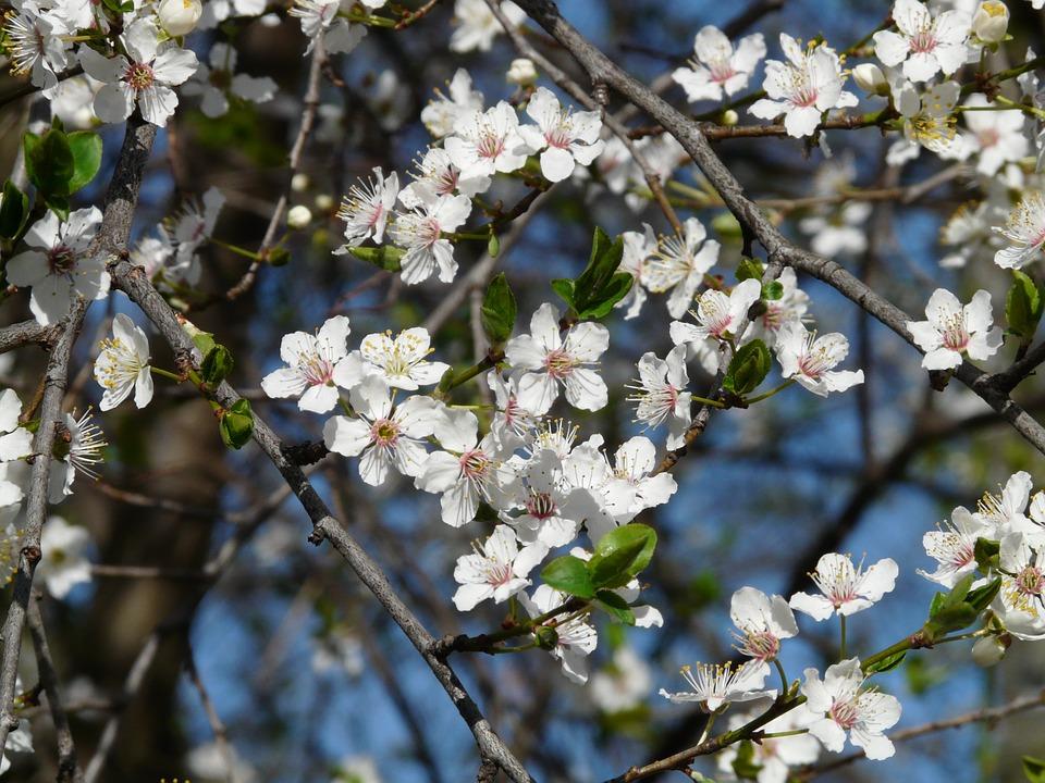 Free photo: Wild Plum, Blossom, Bloom, Tree.