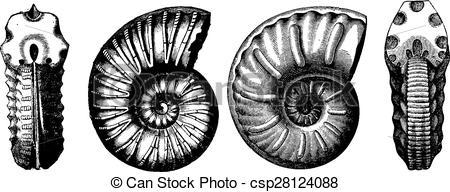 Vector of Cretaceous ammonites, vintage engraving..
