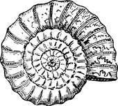 Ammonoidea Clip Art.