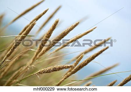 Stock Photograph of Niederlande, Zelland, beach grass (genus.