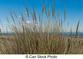 Stock Photographs of Beach grass (Ammophila arenaria) against.