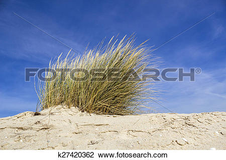 Stock Photo of Ammophila arenaria, a species of grass known by the.