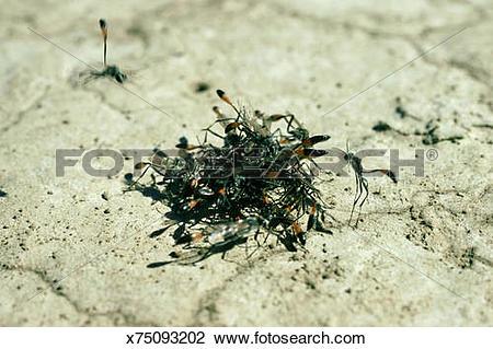 Stock Photo of wasp, ammophila aberti, males digging up virgin.