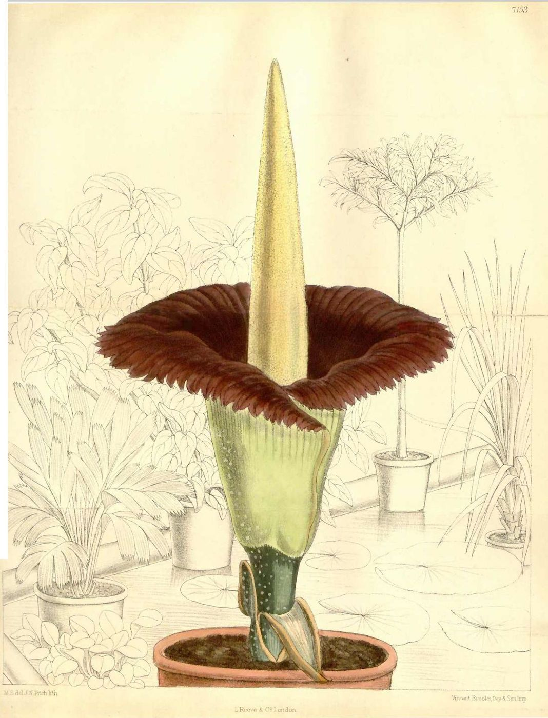 A Corpse Flower Is About to Bloom in the Bronx, Unleashing.