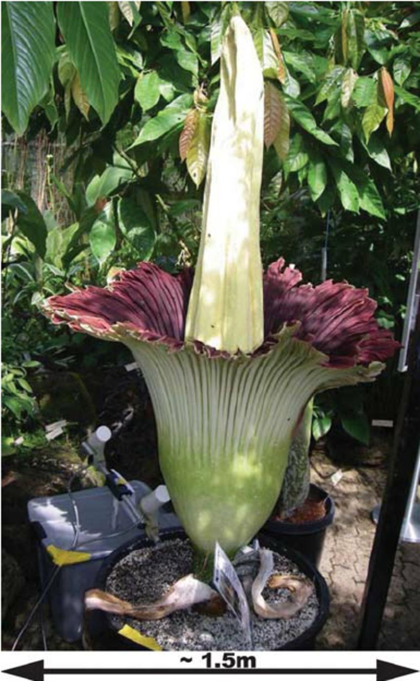Color online) The titan arum (or Amorphophallus titanum.