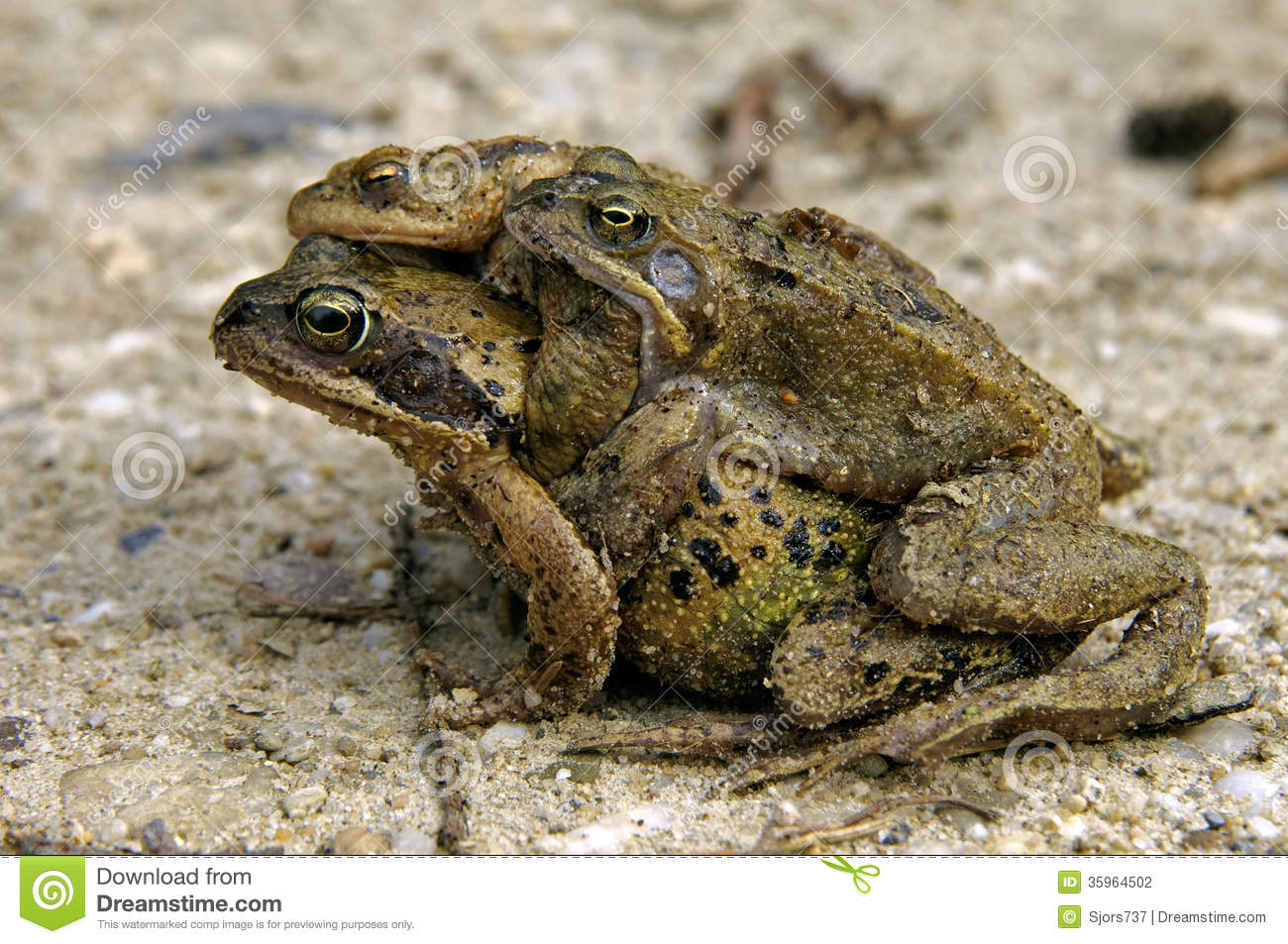 Three Toads On The Road During Toad Migration Stock Photography.
