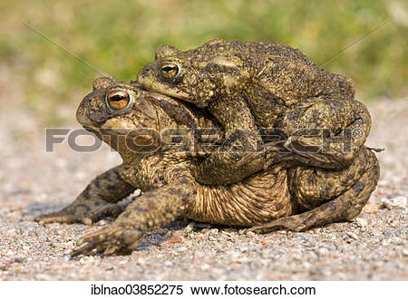 "Stock Image of ""Common Toads (Bufo bufo), amplexus, toad migration."