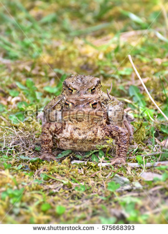 Toad Stock Photos, Royalty.