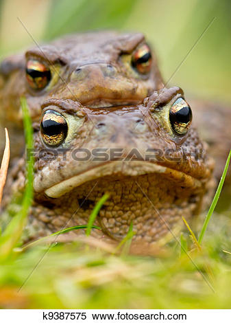 Stock Image of Common Toad (Bufo bufo) in amplex k9387575.