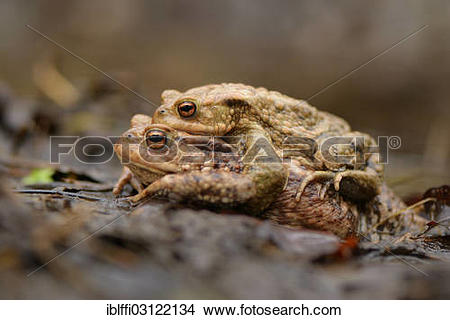 "Stock Photo of ""Pair of Common Toads (Bufo bufo) in amplexus."