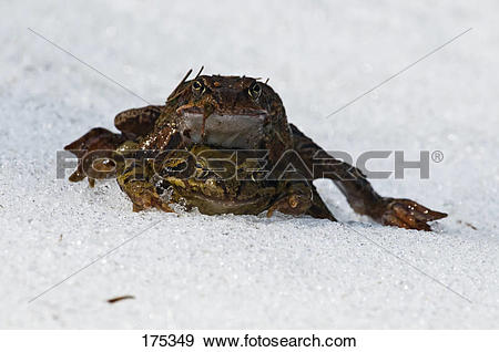 Stock Photograph of Marsh Frog, Common Frog (Rana temporaria.