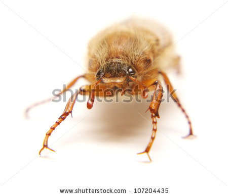Amphimallon Stock Photos, Royalty.
