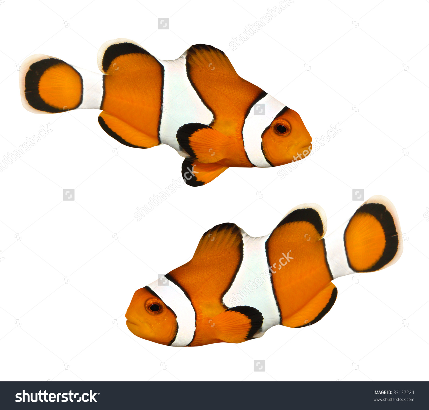 Tropical Reef Fish Clownfish Amphiprion Ocellaris Stock Photo.