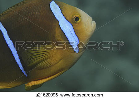 Stock Image of Striped Anemonefish (Amphiprion clarkii), details.