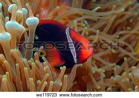 Stock Photo of Cinnamon clownfish or Fire clownfish Amphiprion.