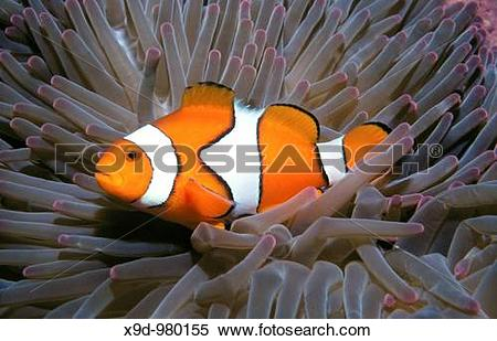 Stock Image of A clown anemonefish, Amphiprion percula, living in.